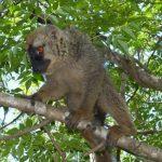 למור על העץ - טיול למדגסקר