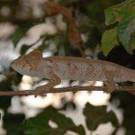 זיקית בטיול למדגסקר