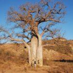 עצים בטיול בהתאמה אישית למדגסקר