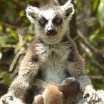 למור מדהים - טיול למדגסקר