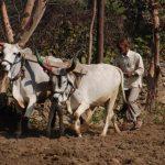 טיול מאורגן להודו פרות