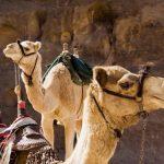 טיול גמלים בירדן