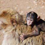 קופים בטיול למרוקו
