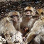 קופים בטיול מאורגן למרוקו