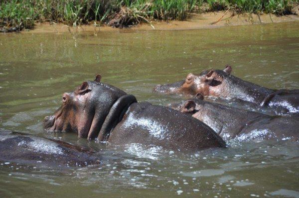 ניקוי טפילים אצל יונקים גדולים מאת: חן כץ מדריך טיולים