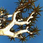 עץ קקטוס בטיול מאורגן בנמיביה