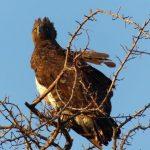 צפייה בעוף דורס בטיול מאורגן בנמיביה
