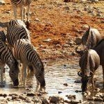 זברות בטבע בטיול מאורגן בנמיביה