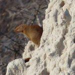 שפן סלע בטיול מאורגן בנמיביה
