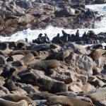 כלבי ים על החוף בטיול מאורגן בנמיביה