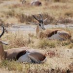 איילים בטבע בטיול מאורגן בנמיביה