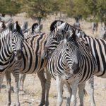 טיול מאורגן בנמיביה עם צפייה בזברות