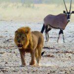 אריה וצבי במדבר בטיול מאורגן בנמיביה