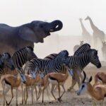 פילים זברות צבאים וג'ירפות בטיול מאורגן בנמיביה