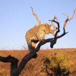צפייה בטיגריס בטיול מאורגן בנמיביה