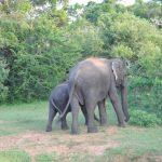 פילים בטיול מאורגן לסרי לנקה