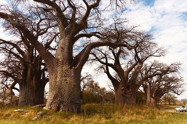עצי הבאובב