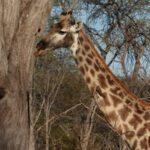 ג'ירפה בטבע בטיול לזימבבואה