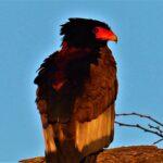 עוף דורס בזימבבואה - טיול בנהיגה עצימת