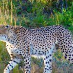 צפייה בצ'יטה בטיול לזימבבואה