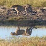 צ'יטה בטבע בצפייה בטיול לזימבבואה