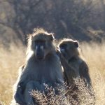 צפייה הקופים בטיול לזימבבואה